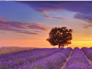 lavender fields provence france xcitefunnet