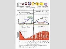 What is a normal menstrual cycle? - Testocreams Research ... Female Period Cycle