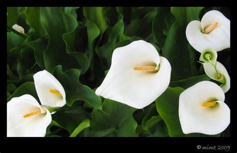 imagenes de flores alcatraces flores alcatraz car interior design