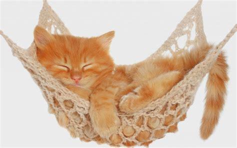 Kitten In Hammock cat sleeping in a hammock hd animals wallpapers