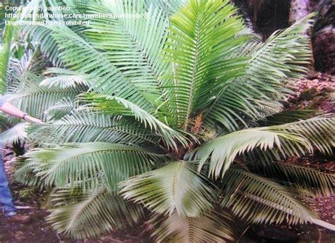 plantfiles pictures ravenea species dwarf majesty palm