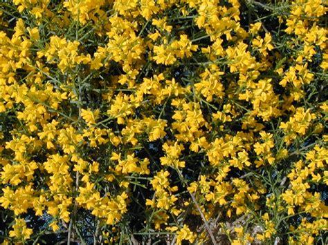 Arbuste Fleurs Jaunes Qui Fleurit Printemps arbuste fleurs jaunes qui fleurit printemps
