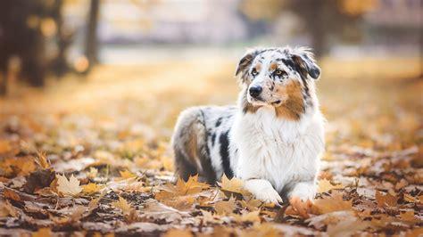 Bilder Australian Shepherd Hunde Blattwerk Herbst Tiere ...