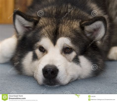 free alaskan malamute puppies alaskan malamute stock photo image of animal puppy 235238