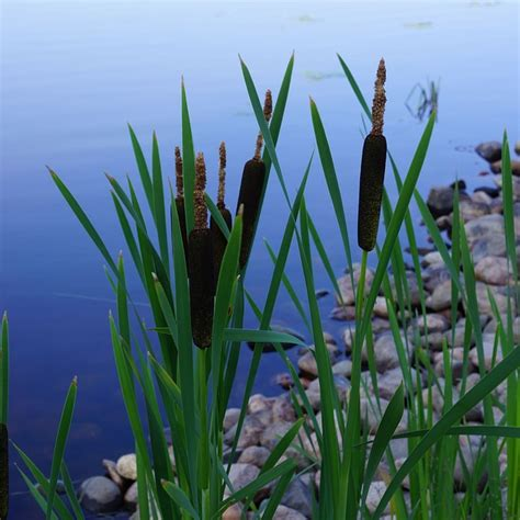 Tiny Cabin Homes 4 ways to use the incredible cattail for survival off