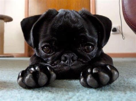 baby pug black adorable black baby pug pugs animals