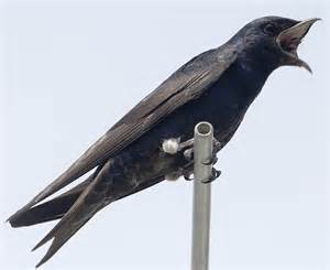 purple martin eating dragonfly birds of new england com