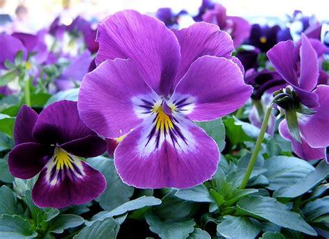 fiore viola pensiero viola pensiero viola tricolor piante annuali