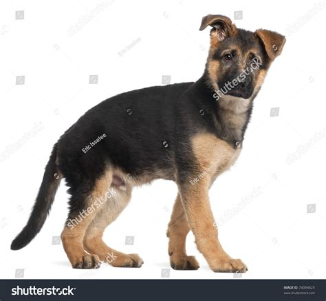 3 month german shepherd puppy german shepherd puppy 3 months standing in front of white background stock photo