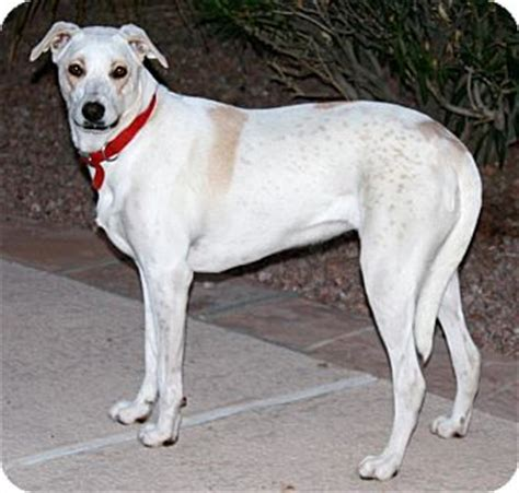 greyhound golden retriever mix gilbert az greyhound labrador retriever mix meet donny a for adoption