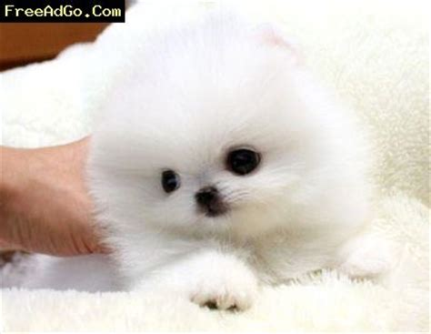 pomeranian tx females teacup pomeranian puppies dallas dogs