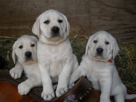 white lab puppies puppy dogs white labrador retriever puppies