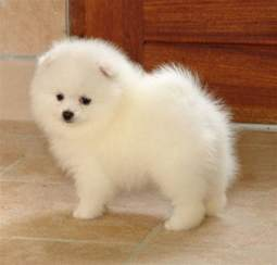 snowball pomeranian i want one it s a japanese spitz on the snowball