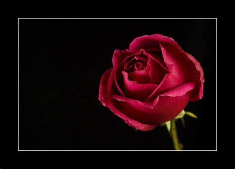 imagenes en negro y rosa rosa fondo blanco o fondo negro