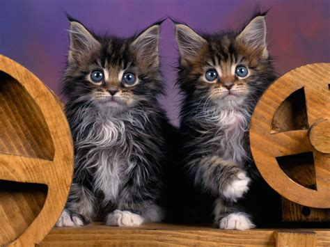twin cats mammals pictures images photos