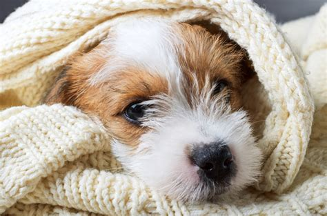 pneumonia symptoms in dogs the symptoms causes and treatments of pneumonia in dogs