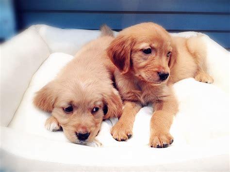 teacup golden retriever puppies teacup golden retriever puppies bed mattress sale