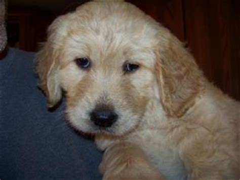 curly haired golden retriever curly coated retriever puppies for sale