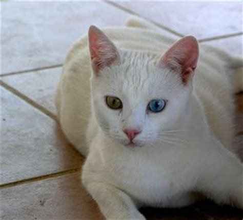 cat pattern vans turkish van dogs and cats wiki fandom powered by wikia