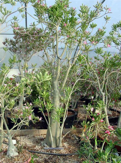 Adenium Somalense adenium species page 1