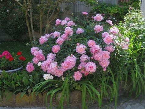 peonie fiore fiore peonia piante da giardino caratteristiche della