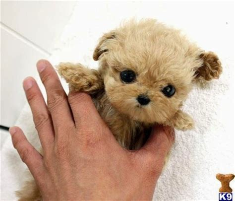 micro teacup poodle lifespan 25 best ideas about smallest breeds on