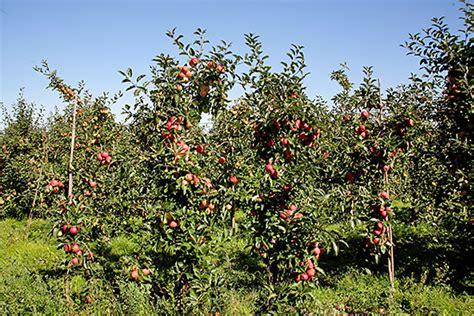 apfelbaum mehrere sorten welche apfelsorten sind im handel erh 228 ltlich