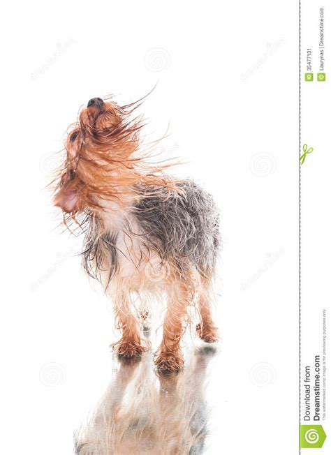 yorkie shaking yorkie after bath shaking hair stock image image 35477131