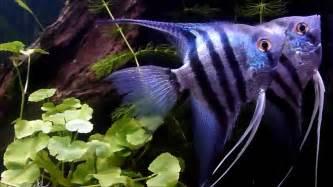 Blue Zebra Angelfish   mates   YouTube