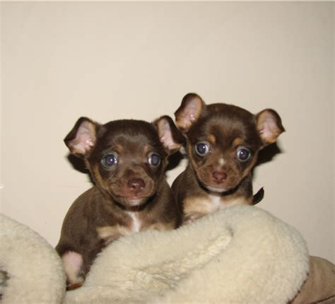 brown chihuahua puppy brown chihuahua puppies picture png 2 comments hi res 720p hd