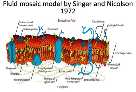 Mozaik Model summary of fluid mosaic model of plasma membrane by singer