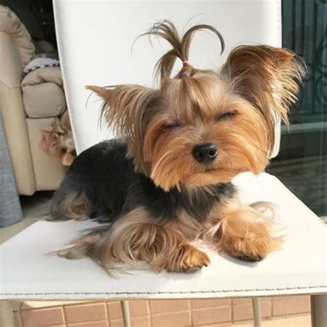 yorkie barks at everything 1000 images about yorkies on