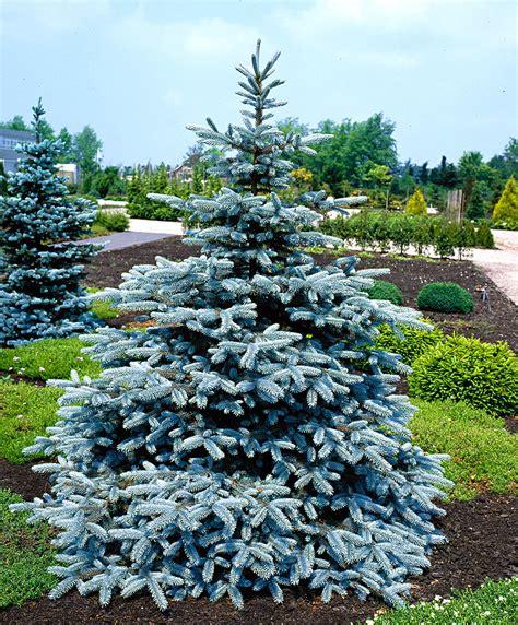 pino da vaso 1 pianta di picea pino argentato in vaso 19cm conifera ebay