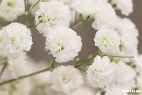 babys breath plant gypsophila   grow  care