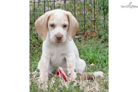akc beagle puppies pin akc lemon beagle puppy belvidere dogs and puppies on