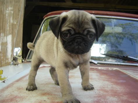 puppies pugs for sale free pugs puppies for sale breeds picture