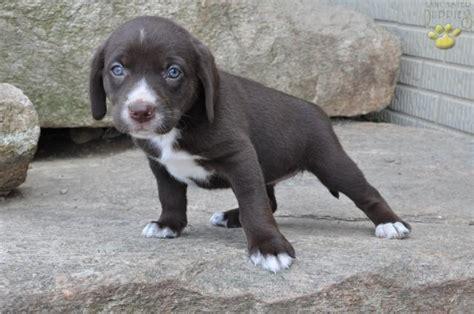 beagador puppies beagador puppy i my pets