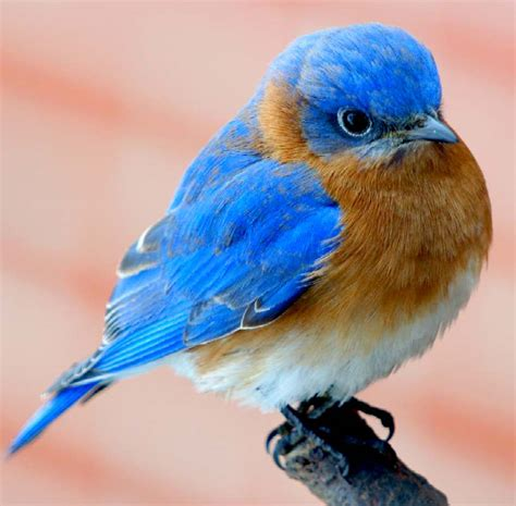 blue birds bluebirds ornithology