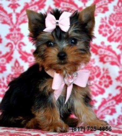 yorkie atlanta teacup yorkie puppies available for sale adoption from atlanta breeds