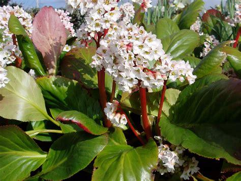 bergenia bressingham white cornish garden nurseries