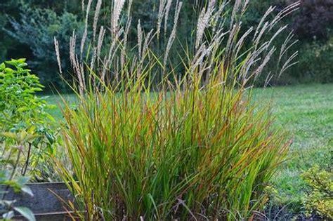 Grass L by Miscanthus Purpurascens Grass Paperblog