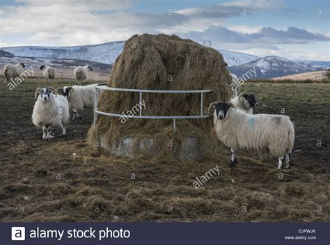 Sheep Silage Feeders domestic sheep scottish blackface flock feeding on big bale silage stock photo royalty free