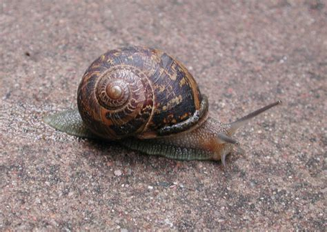 Brown Garden Snail by Brown Garden Snail In The Sonoran Desert