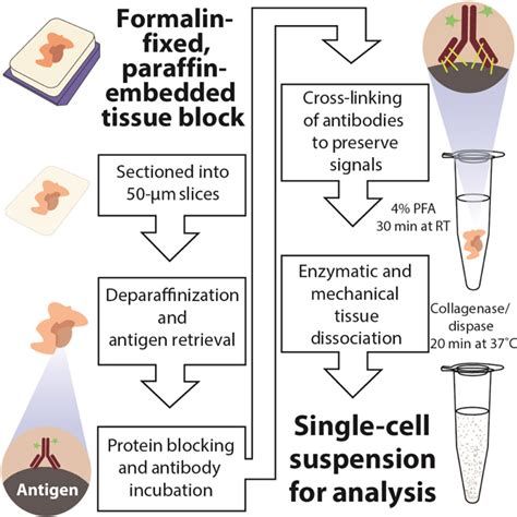 tissue sectioning methods impaired coordination between signaling pathways is