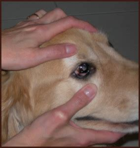 puppy eye boogers eye discharge in dogs eye discharge eye care