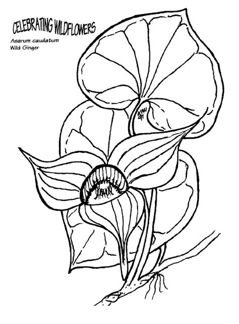 coloring book wiki file asarum caudatum coloring page png