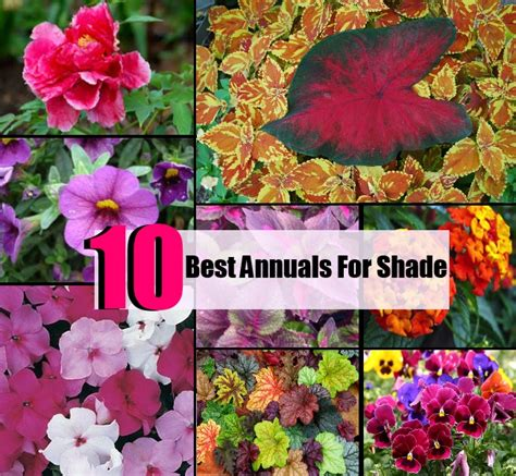 10 best annuals for shade diycozyworld home