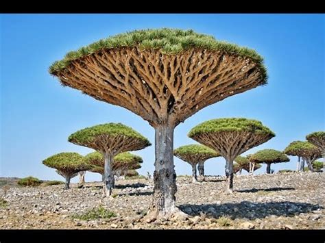 the trees the world s most amazing trees
