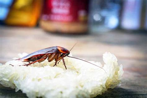 how to get rid of cockroaches in kitchen cabinets how to get rid of cockroaches in your kitchen foodal