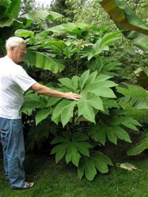 tetrapanax papyrifer rice paper tree hardy tropical plants pinterest